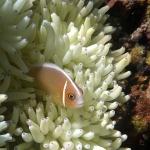 La tête sous l'eau à Pulau Seraya