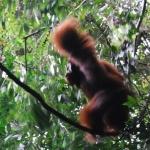 Traque à l'Orang Outang à Gunung Leuser