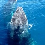 Australie : Megaptera à Hervey Bay